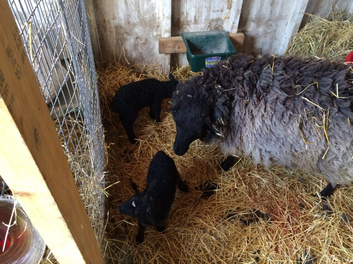 More on the Lambs